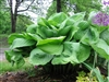 HOSTA SUM AND SUBSTANCE EX-LARGE GOLD LEAVES LAVENDER FLOWERS Z 3-9
