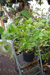 MULBERRY DWARF EVERBEARING MULBERRY-Morus nigra-Sweet Medium Sized Berry  Zone 5
