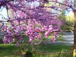 Redbud Eastern Redbud-Cercis canadensis-Showy Clusters of Soft Pink to Magenta Blooms Z 4