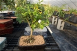 Japanese Boxwood-buxus microphylla-finished in pot