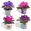 "AFRICAN VIOLET-Saintpaulia 2"" Tropical Zone 9+"