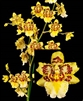 W 664 ODONTOCIDIUM PARQUET 'UPTOWN GIRL' TROPICAL Z 9+