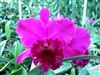 T-4596 Cattleya 'Hawaiian Progress'-Lavender Upper with Darker Purple to Burgundy Throat and Lip  Tropical Z 9+