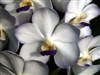OUT TILL SUMMER....T-4580 Vasco. Viboon Velvet 'Perfection'-Vanda Orchid-White with Violet Edges and Yellow Center Blooms