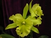T-4655 Blc. Ports of Paradis 'Gleneyrie's Green Giant'-Lime Green to Pale Green Blooms Tropical Z 9+