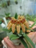 BULBOPHYLLUM cornu-cervi-Brown to Reddish Cupped Bloom Tropical  Z 9+