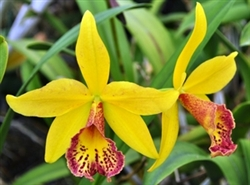 T-4658 Haiku Dawn-Yellow Upper with Reddish Brown Center Throat Edges and Speckles on Lip Bloom Tropical Z 9+
