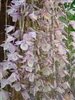 DENDROBIUM APHYLLUM SINGLE TO MULTIPLE CANES TROPICAL
