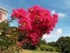 Crape Myrtle-Lagerstroemia Country Red--Bright Red Blooms Zone 7