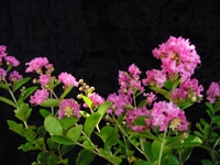 Crape Myrtle-Lagerstroemia Hopi  Medium Pink Blooms Zone 7