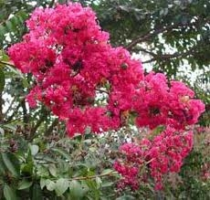 Crape Myrtle-Lagerstroemia Tuskegee-Rose Pink Blooms Zone 7