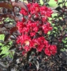 CRAPE MYRTLE EBONY EMBERS-LAGERSTROEMIA Red Hot Blooms and Black Foliage Zone: 7