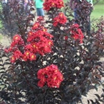 CRAPE MYRTLE EBONY FIRE-LAGERSTROEMIA Clusters of Fiery Dark Red Blooms with Yellow Center and Black Foliage Zone: 6