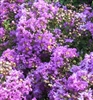 CRAPE MYRTLES-DISCOUNT COMBO PACKS OF CRAPE MYRTLES--THIS OFFERING IS FOR 6 CRAPE MYRTLE PLUGS