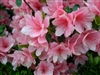 AZALEA RHODODENDRON CORAL BELLS-PINK CLUSTER Blooms Zone 6