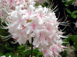 NATIVE RHODODENDRON AZALEA ARBORESCENS 'SWEET AZALEA' WHITE WITH RED STAMENS BLOOMS, Zone 5