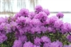 RHODODENDRON AMY COTTA-LAVENDER PINK CLUSTER Blooms Zone 4