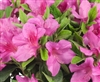 AZALEA RHODODENDRON BLOOM-A-THON PINK-LAVENDER LARGE RUFFLED PINKISH-LAVENDER REBLOOMER Zone 6
