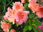 AZALEA RHODODENDRON DUC DE ROHAN-CLUSTERS OF ORANGE PINK BLOOMS Zone 8