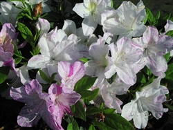 AZALEA RHODODENDRON AUDREY MARIE-GERBING SPORT Blooms RED LAVENDER STREAKS ON WHITE Zone 7b