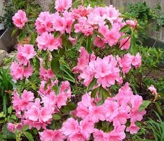 AZALEA RHODODENDRON PINK PEARL FLOWERS IN A CLUSTER OF  VIVID PINK COLOR  Zone 6