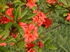 NATIVE PLUMLEAF AZALEA 'RHODODENDRON PRUNIFOLIUM' ORANGE TO RED SUMMER BLOOMS Zone 6