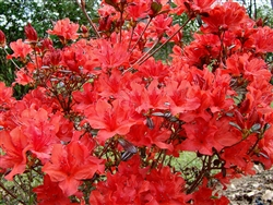 AZALEA RHODODENDRON TROUPER-Glen Dale Hybrid Reddish-Orange Blooms in Clusters Zone 6