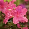 AZALEA RHODODENDRON INDICA-PRIDE OF MOBILE-CLUSTERS OF PINK WITH RED SPLOCHES BLOOMS Zone 8