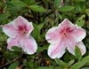 AZALEA RHODODENDRON LADY CAVENDISH-Southern Indica Hybrid-Single Blooms of Pink and White Zone 7