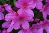 AZALEA RHODODENDRON DWARF FORMOSA- Single Lg Lavender blooms Zone 8