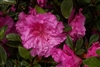 AZALEA RHODODENDRON MICHAELE  LUX-Aromi Azalea Lavender Pinkish Rose with Ruffled Edged Blooms  Zone 6