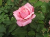 BELINDA'S DREAM KNOCK OUT ROSE PINK BLOOM FRAGRANT SHRUB Z 5