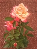 ROSE SUNDOWNER GRANDIFLORA ROSE SINGLE AND CLUSTER LARGE GOLDEN ORANGE-SALMON BLOOMS SPICY FRAGRANCE Z 7