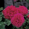 'MAGGIE'-BOURBON ROSE- MAUVE TO RED COLOR BLOOMS FRAGRANT