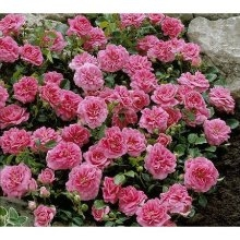 PINK CASCADE CLIMBER-GROUND COVER ROSE PINK CLUSTER BLOOMS