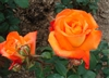 TROPICANA HYBRID TEA ROSE FRAGRANT ORANGE BLOOMS