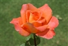 AMBASSADOR ROSE-Hybrid Tea Reddish Apricot to Creamy Yellow  Zone: 5  Fragrant