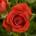 CRIMSON TREASURE RED BLOOMS MICRO-MINI ROSE GARDEN TREASURES