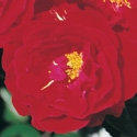 RED RIBBONS FRAGRANT RED COLOR BLOOMS SHRUB-TYPE FLORIBUNDA ROSE