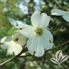 DOGWOOD WHITE FLOWERING-Cornus florida-SINGLE WHITE BLOOMS RED BERRIES  Zone: 5