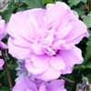 ALTHEA-Hibiscus syriacus ' DOUBLE PURPLE' or Rose of Sharon    Z 5