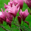 MAGNOLIA STELLATA- 'ANN' Fragrant PURPLE/RED BLOOM Z 4