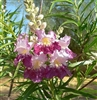 "CHITALPA DESERT WILLOW-Chilopsis linearis hybrid ""Pink Dawn""-Showy Pale Pink Cluster Blooms Z 6"