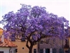 ROYAL EMPRESS TREE-Paulownia tomentosa-Fragrant Lavender Bell-shaped Blooms Z 5
