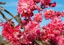 PEACH DOUBLE RED FLOWERING PEACH TREE-Prunus persica 'Cardinal' Zone 5