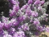 TEMPORARILY OUT OF STOCK---SILVER BELLS CAROLINA SILVER BELLS Lavender blooms Zone 4