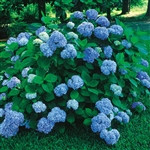 NIKKO BLUE HYDRANGEA--'Macrophylla' BLUE TO PINKISH-RED FLOWERS ZONE 5