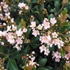 INDIAN HAWTHORN DWARF PINK-- Rhaphiolepis indica Light Rosy Pink Flowers  Zone 7