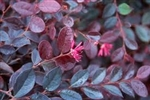 LOROPETALUM PLUM DELIGHT Rose Pink Blooms Flowering Shrubs  Zone 6