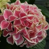 Edgy® Hearts-Hydrangea macrophylla DARK PINKISH-RED FLOWERS ACCENTED BY WHITE MARGINS Z 5b